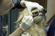 Dog Teeth Cleaning without anesthesia: Is it better?