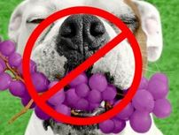 Can dogs eat grapes or raisins?