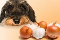 Can dogs eat onions?