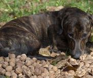 Can dogs eat walnuts?