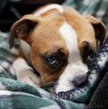 Dog car sickness or dog anxiety?